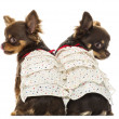 Rear view of two dressed up Chihuahuas, isolated on white — Stok fotoğraf