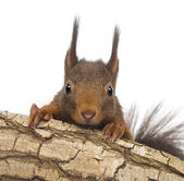 Close-up of a Red squirrel or Eurasian red squirrel, Sciurus vul — Stock Photo