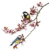 Great Tit and Blue Tit perched on a blossoming branch, isolated — Stock Photo