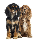 Two Cavalier King Charles sitting, isolated on white — Stock Photo