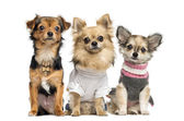 Group of dressed up Chihuahuas, isolated on white — Stock Photo