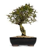 ザクロ盆栽の木、ピューニカグラネイタム、白で隔離されます。 — ストック写真