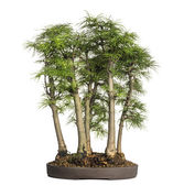 Golden larch, bonsai tree, pseudolarix amabilis, isolated on whi — Stock Photo