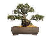 Azalea bonsai tree, Rhododendron, isolated on white — Stock Photo