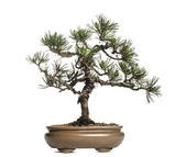 Scots pine bonsai tree, Pinus sylvestris, isolated on white — Stock Photo