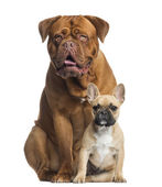 Dogue de Bordeaux panting and French bulldog puppy sitting, isol — Stock Photo