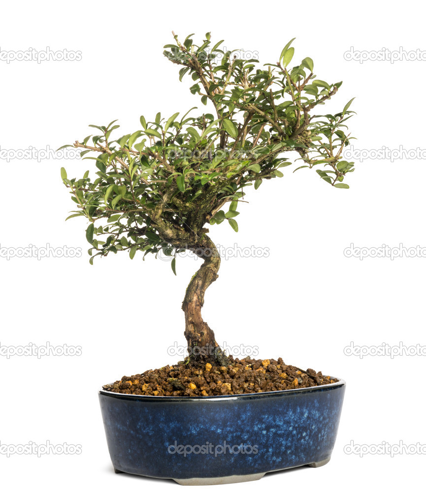 heckenkirsche bonsai baum lonicera caprifolium isoliert auf weiss stockfoto lifeonwhite. Black Bedroom Furniture Sets. Home Design Ideas