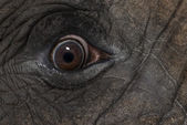 Close up of an African elephant's eye — Foto Stock