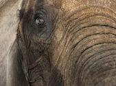 Vicino di un elefante africano — Foto Stock