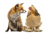 Red fox, Vulpes vulpes, sitting next to a Hen, looking at each o — Stock Photo