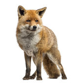 Red fox, Vulpes vulpes, standing, isolated on white — Stock Photo