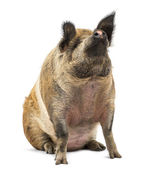 Domestic Pig sitting and looking up, isolated on white — Stock Photo