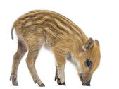 Wild boar, Sus scrofa, also known as wild pig, 2 months old,stan — Stock Photo