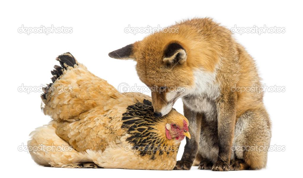 Le renard roux vulpes vulpes assis c t d 39 une poule for Prix d une poule