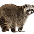 Rear view of a Racoon, Procyon Iotor, standing, isolated on whit — Stock Photo #28734475