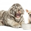 Постер, плакат: White tiger cub screaming at a Chihuahua puppy isolated on whit