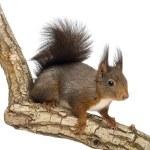Red squirrel or Eurasian red squirrel, Sciurus vulgaris, standin — Stock Photo