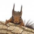 Постер, плакат: Close up of a Red squirrel or Eurasian red squirrel Sciurus vul
