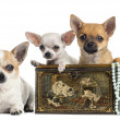 Group of Chihuahuas in a vintage box, isolated on white — Stock Photo