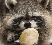 Close-up di un racoon, procyon iotor, mangiando un uovo — Foto Stock