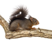 Red squirrel or Eurasian red squirrel, Sciurus vulgaris, standin — Stock Photo