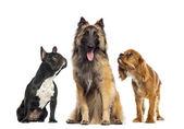 Skupina psa, izolované na bílém — Stock fotografie