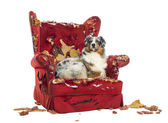 Australian Shepherd lying proudly on a detroyed armchair, isolat — Stock Photo
