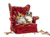 Australian Shepherd lying on a detroyed armchair, isolated on wh — Stock Photo