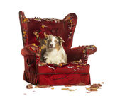 Australian Shepherd puppy, 10 months old, lying on a detroyed ar — Stock Photo