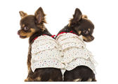 Rear view of two dressed up Chihuahuas, isolated on white — Stock Photo