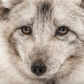 Close-up of a Arctic fox, Vulpes lagopus, also known as the whit — Stock Photo