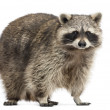 Racoon, Procyon Iotor, standing, isolated on white — Stock Photo #28780407