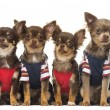 Group of dressed up Chihuahuas puppies sitting, isolated on whit — Photo