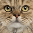 Close-up of a British Longhair — Stock Photo