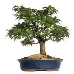 Japanese Maple or Shishigashira bonsai tree, Acer Palmatum, isol — Stock Photo #28783127