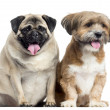 Two dogs sitting and panting, isolated on white — Stock Photo #28784041