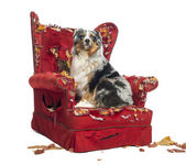 Australian Shepherd sitting on a detroyed armchair, isolated on — Stock Photo