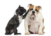 French bulldog reaching at a bored English bulldog, isolated on — Stock Photo