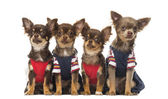 Group of dressed up Chihuahuas puppies sitting, isolated on whit — Stock Photo