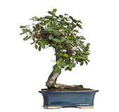 Ficus panda bonsai tree, ficus retusa, isolated on white — Stock Photo