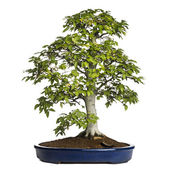Beech bonsai tree, fagus sylvatica, isolated on white — Stock Photo