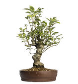 Malus Perpetu bonsai tree, isolated on white — Stock Photo