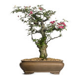 Hawthorn bonsai tree, Crataegus, isolated on white — Stock Photo