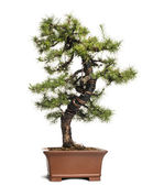 Larch bonsai tree, Larix, isolated on white — Stock Photo