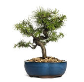 European larch bonsai tree, Larix decidua, isolated on white — Stock Photo