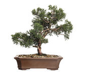 Juniper bonsai tree, Juniperus, isolated on white — Stock Photo