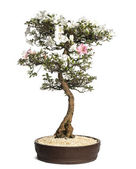 Azalea bonsai tree, Rhododendron, isolated on white — Stock Photo