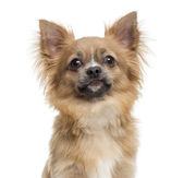 Close-up of a Chihuahua, isolated on white — Stok fotoğraf