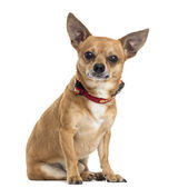 Chihuahua sitting, isolated on white — Stock Photo