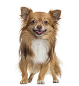 Chihuahua panting, standing, isolated on white — Stock Photo